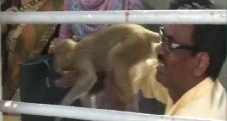 7 महीने बाद खुले स्कूल तो क्लासरूम में जा बैठे बंदर, छात्र और कर्मचारी को काटा
