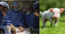 इंसानी बॉडी में हुआ सुअर की किडनी का सफल ट्रांसप्लांट