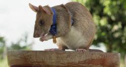 बारूदी सुरंगों का पता लगाने वाला चूहा हुआ रिटायर